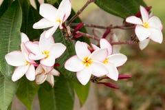 цветет frangipani Стоковое Изображение