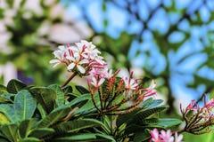 цветет frangipani стоковое фото rf