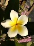 цветет frangipani стоковое изображение rf
