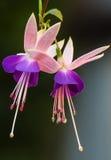 цветет fuchsia Стоковые Фотографии RF