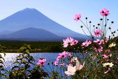 цветет fuji стоковое фото rf