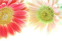 цветет gerber Стоковое Фото