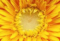 цветет gerber Стоковая Фотография RF
