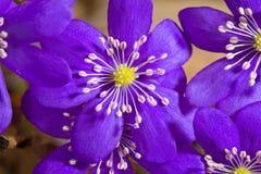 цветет hepatica Стоковое Изображение RF