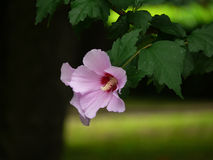 цветет hibiscus Стоковое Изображение