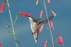 цветет hummingbird Стоковое Изображение