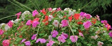 цветет impatiens Стоковое Изображение