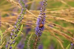 цветет ladybug Стоковые Изображения