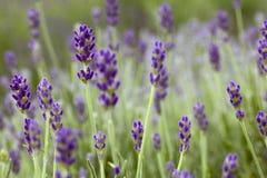 цветет lavander Стоковые Изображения