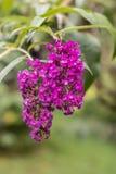 цветет lila Стоковое фото RF