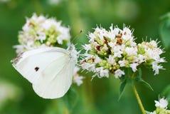 цветет oregano Стоковые Фото