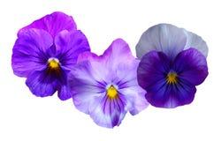 цветет pansy Стоковые Изображения RF