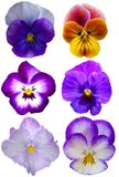 цветет pansy Стоковое Фото