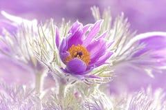 цветет pasque Стоковые Изображения
