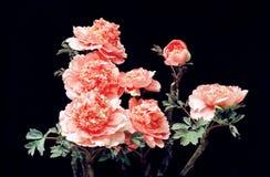 цветет peony Стоковое Изображение RF