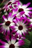 цветет pericallis Стоковое Фото