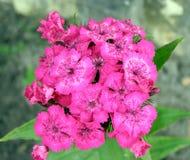 цветет phlox Стоковые Фото