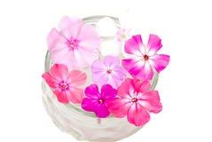 цветет phlox Стоковое Изображение