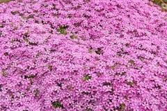 цветет phlox Стоковые Изображения RF