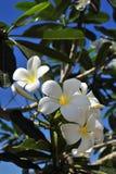 цветет plumeria Стоковая Фотография RF