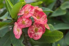 цветет poi sian Стоковые Изображения