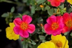цветет portulaca Стоковое Изображение RF