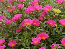 цветет portulaca стоковое фото rf
