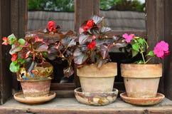 цветет potted Стоковые Фотографии RF