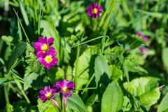 Цветет primula в саде весны Стоковая Фотография RF