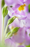 цветет primula Стоковые Изображения RF
