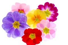 цветет primula Стоковое Изображение