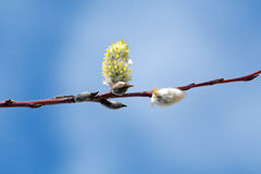цветет pussywillow Стоковое Изображение RF