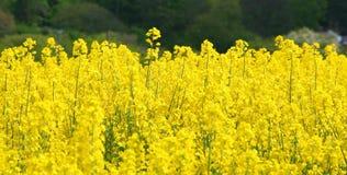 цветет rapeseed стоковое фото rf