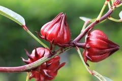 цветет roselle Стоковые Фото