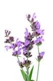 цветет salvia Стоковые Изображения RF