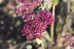 цветет sedum Стоковое Изображение RF