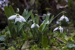 Цветет snowdrop на дождливый день стоковые изображения