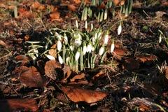 цветет snowdrop Стоковое Фото