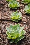 цветет succulent зеленого завода Стоковое Изображение RF