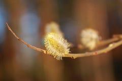 Цветет willow1 Стоковые Фото