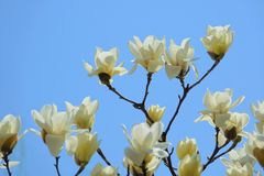 цветет yulan Стоковые Изображения