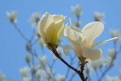 цветет yulan Стоковые Изображения RF