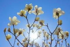 цветет yulan Стоковое фото RF