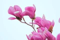цветет yulan Стоковая Фотография