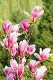 цветет yulan Стоковые Фото