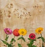 цветет zinnia корня тополя Стоковые Фото