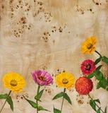 цветет zinnia корня тополя Стоковое Фото