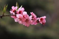Цветистые цветения персика Стоковая Фотография RF
