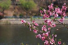 Цветистые цветения персика Стоковая Фотография