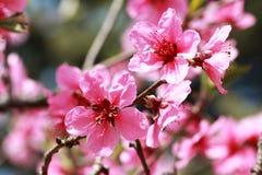 Цветистые цветения персика Стоковое Изображение RF